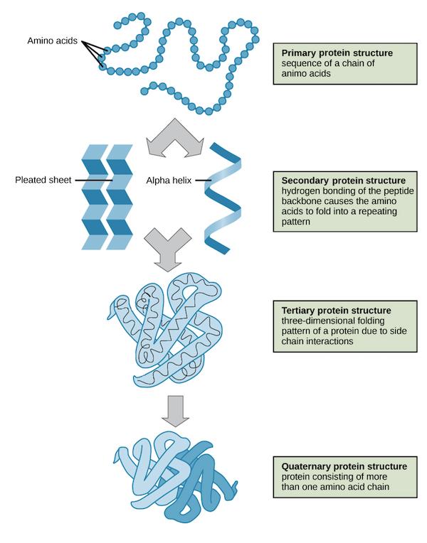 http://ibbiologyhelp.com/ChemistryofLife/proteintypefunction.png